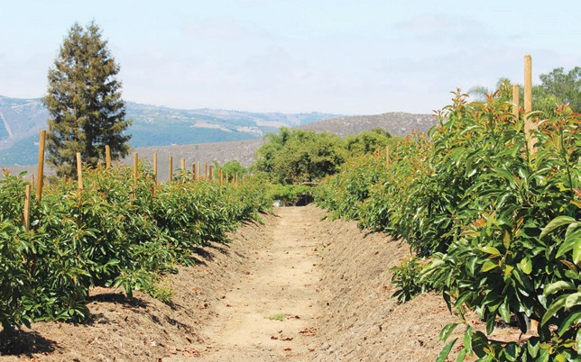 looking more like shrubs than trees, these avocado trees are the leading edge of what may be a revolution in farming.