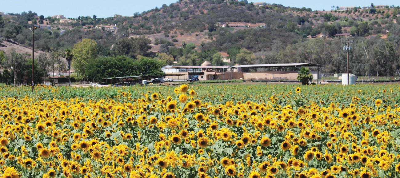 A TIME TO REAP—Sunflower plants growing in the old Konyn Dairy property are being harvested this week. Thousands of little boys will be thankful, and school custodians will be resentful of the new crop of sunflower seeds.