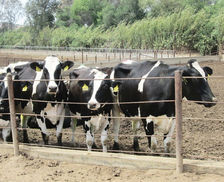 Konyn Dairy is one of the few remaining dairies in San Diego County.