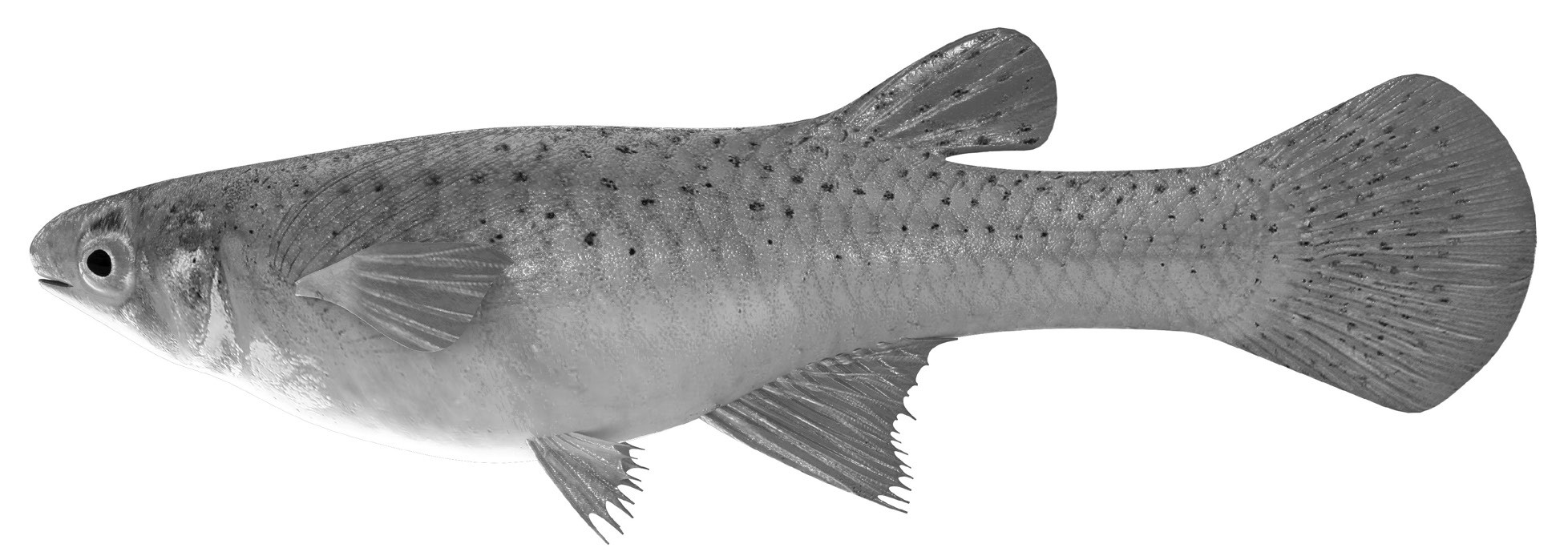 The mosquitofish is small, but has a huge appetite for mosquito larvae.
